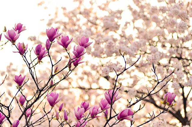 Free photo Flowers Magnolia Plant Flower Spring Nature - Max Pixel - photo of spring