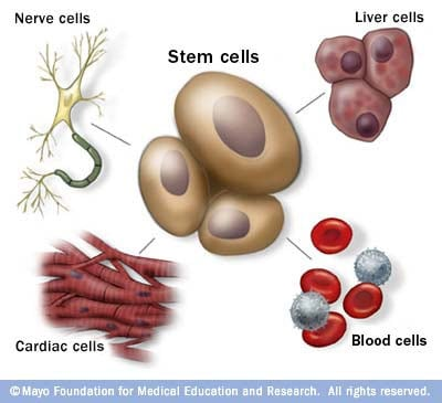 Stem cells What they are and what they do - Mayo Clinic