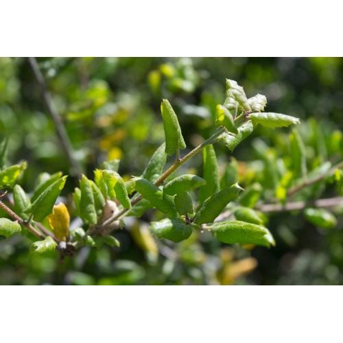 Medium Crop Of Live Oak Leaves
