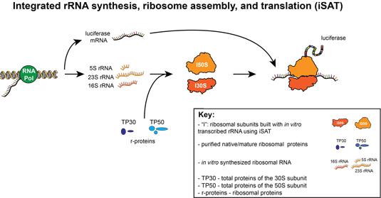 Mimicking Living Cells Synthesizing Ribosomes News Northwestern