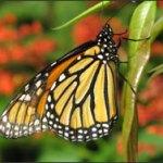 wof_butterflies_015