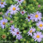 Aster_UME