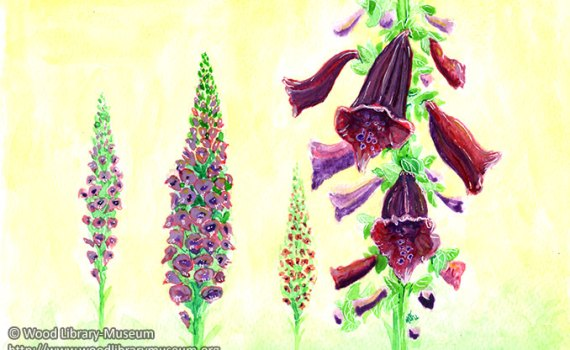 Digitalis Purpurea Watercolor Note Card