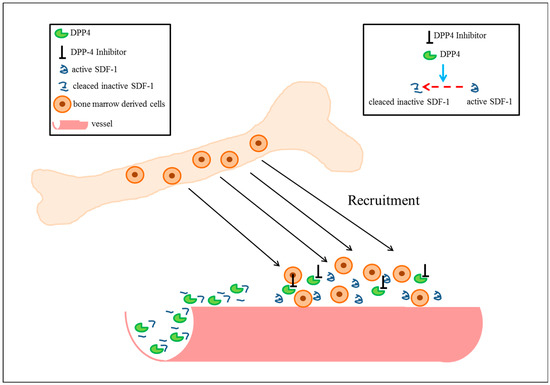 Cells Free Full-Text Is there a Chance to Promote Arteriogenesis