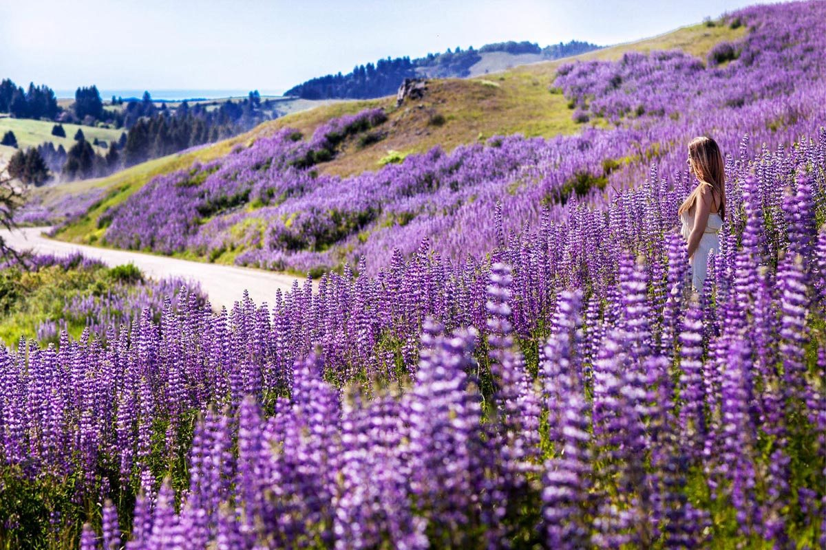 Lavender Color Wallpaper Hd Coast Redwoods Redwood National Park Photos Trails