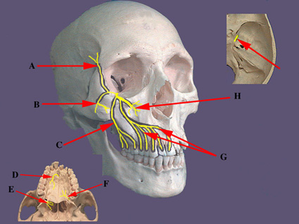 maxillary and mandibular nerve ~ stomatologist / Dental