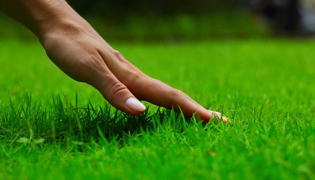 merawat rumput gajah mini