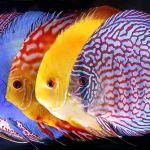 Aneka Ragam Ikan Hias Air Tawar