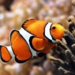 Ikan Badut, Si Nemo Yang Gemar Petualang Banyak Duplikate
