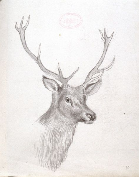 pencil sketches of deer - Pinarkubkireklamowe