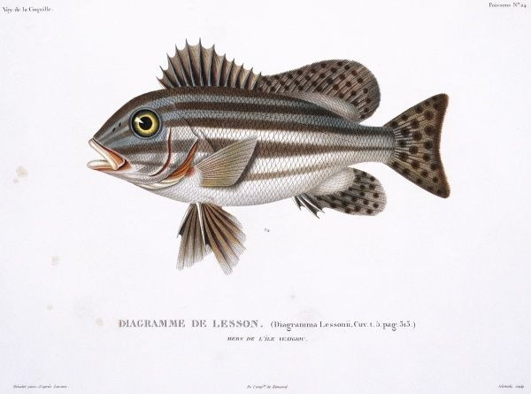 Plate 24 by Louis-Isidore Duperrey from his Voyage de la Coquille