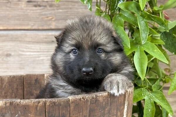 Dog German Shepherd Dog Puppy Sitting In A Wooden Tub