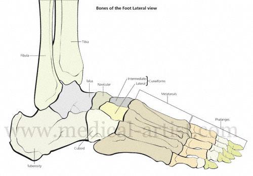 Human Foot Bones Diagram Wiring Diagram