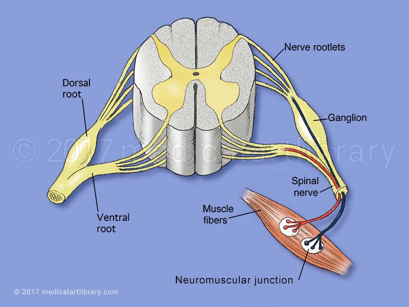 Neuromuscular Junction - Medical Art Library - neuromuscular junction