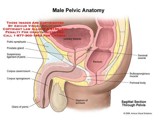 Girl Wallpaper Longitudinal Amicus Illustration Of Amicus Anatomy Male Pelvic Bladder