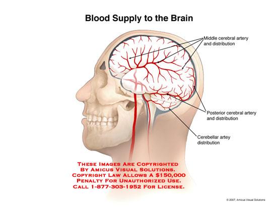AMICUS Illustration of amicus,anatomy,brain,artery,arterial