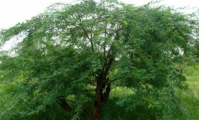 Acacia Nilotica Medicinal Uses Health Benefits And Pictures