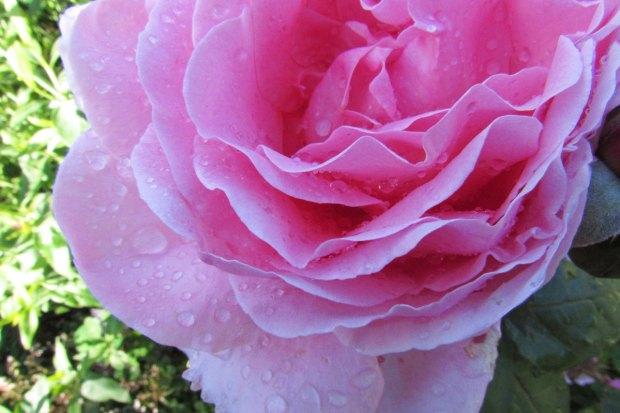 rose-and-rain