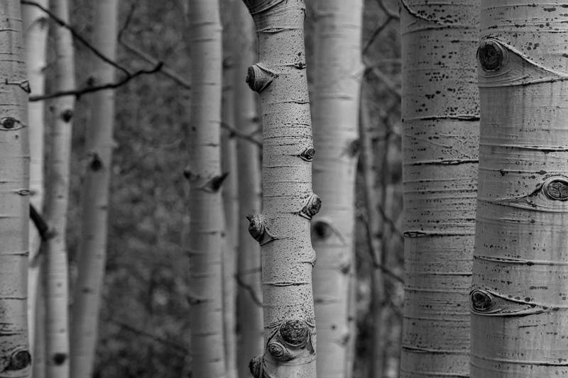 aspen trees black and white