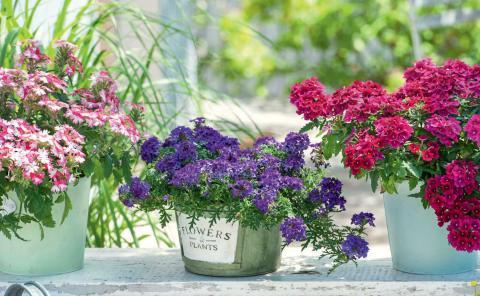 Verbenen Pflanzen Und Pflegen Mein Schoner Garten