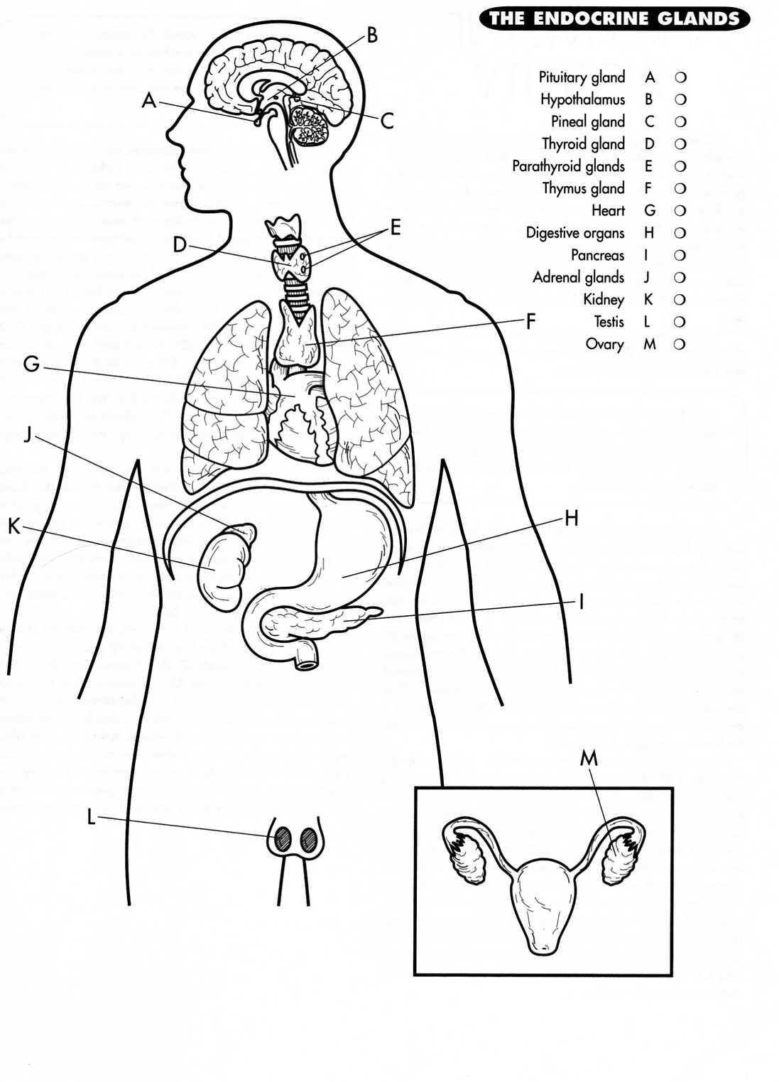 Endocrine System Coloring Page - Car-essay