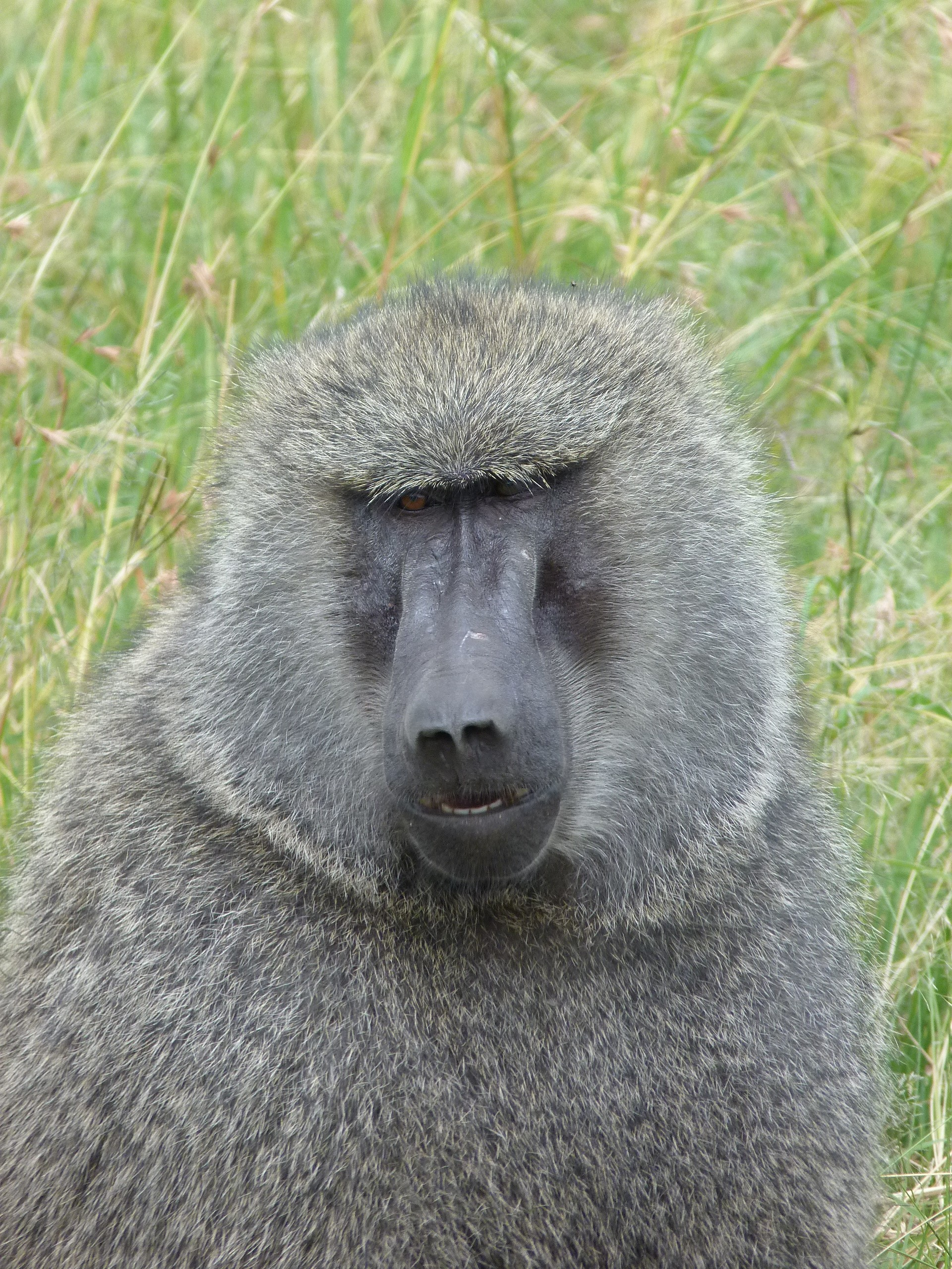 Baboon close up