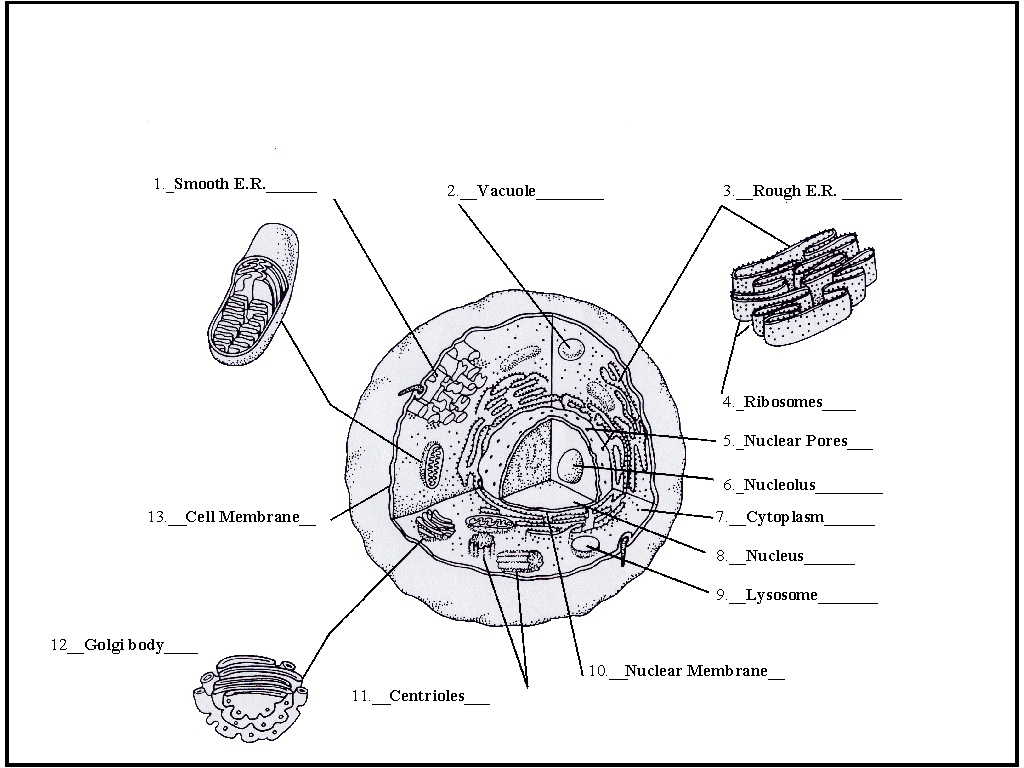 labelled diagram of an animal cell