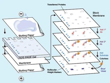 Western Blotting Protocols Life Science Research Merck - western blot