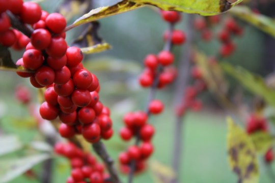 Winterberry Berries.
