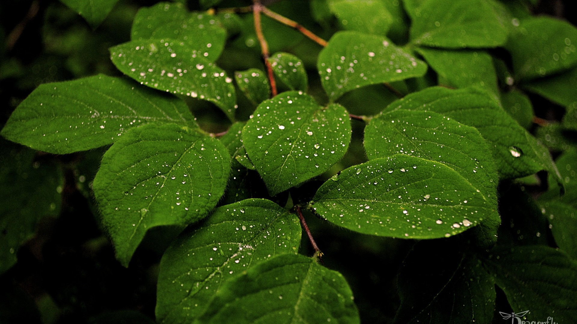 Drop Of Water Falling From A Leaf Dark Background Wallpaper صور خلفيات ايفون 6 وخلفيات ايفون 6 بلس ميكساتك
