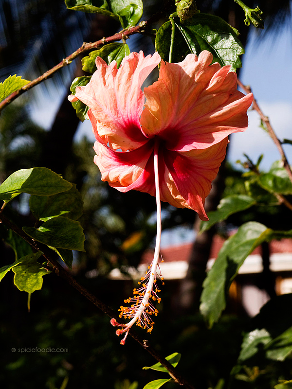 Beliziean Hibiscus Flower | #HibiscusFlower #Belize #flordejamaica