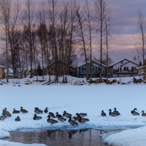 Ducks on an icy lake.