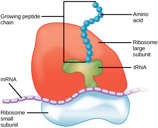 Ribosomes - Definition, Structure, Size, Location and Function