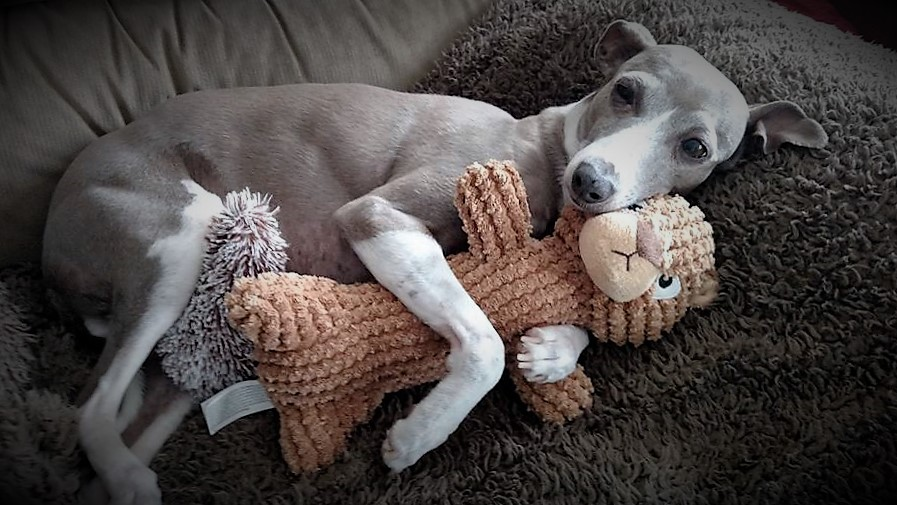 Mid Atlantic Italian Greyhound Rescue Love Igs
