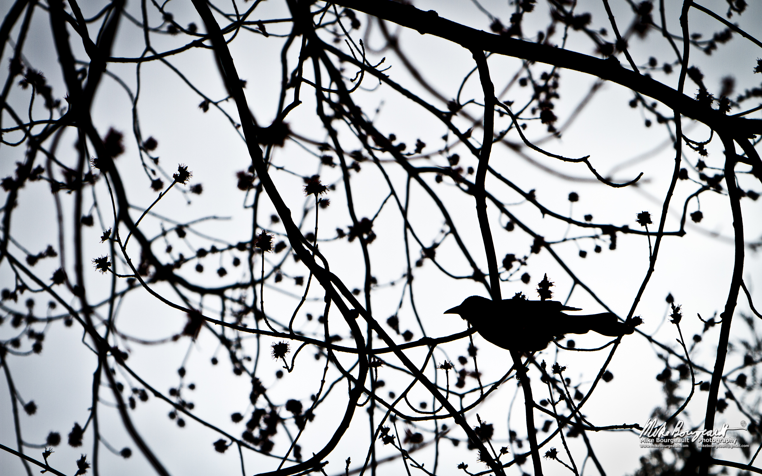 Make Your Own Hd Wallpaper June 20 2012 Bird In A Tree Mike Bourgeault Photography