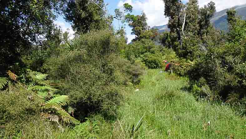 My place, Westland, New Zealand. An old logging track is now overgrown with grass. Large kamahi (Weinmannia) trees, left by the loggers, poke up above regowth.