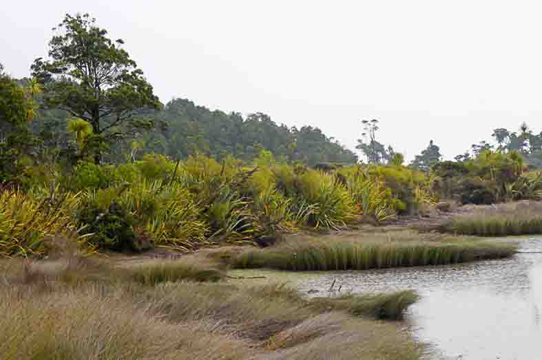 The Hapuka boardwalk, Westland, New Zealand, at high tide. A small rise in sea-level will overwhelm the marsh and destroy the flax and trees at a slightly higher level.