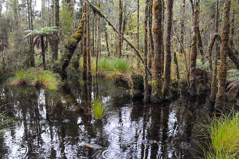 Kahikatea (Dacrycarpus) swamp forest on the Ship Ck boardwalk. A couple of meters sea level rise will probably be enough to kill these trees.