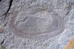 A Miocene freshwater mussel fossil