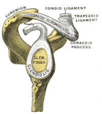 Glenoid fossa of right side.