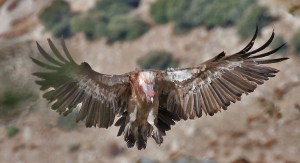 Griffon_Vulture_4