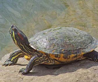 tartaruga dalle orecchie rosse mille animali