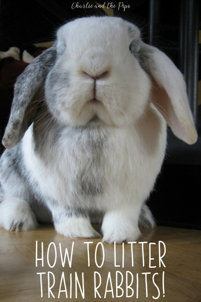 Litter training rabbits is not as hard as you might thing. If you can litter train rabbits they can more easily live with you indoors!