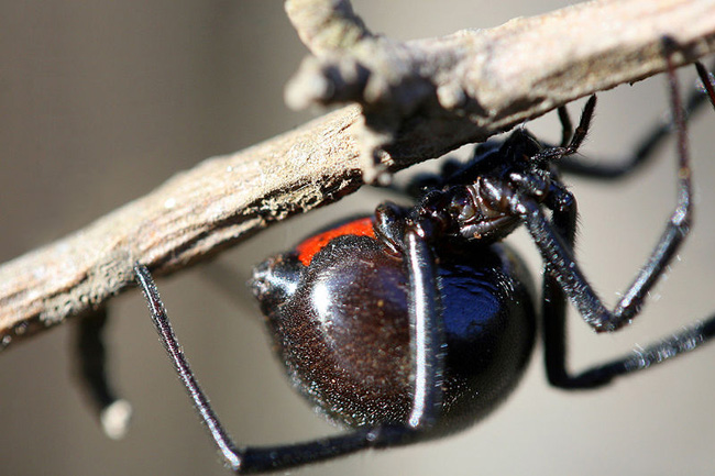 650px-Black_Widow_Spider_California