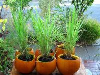 How to grow lemongrass in our home herb garden?