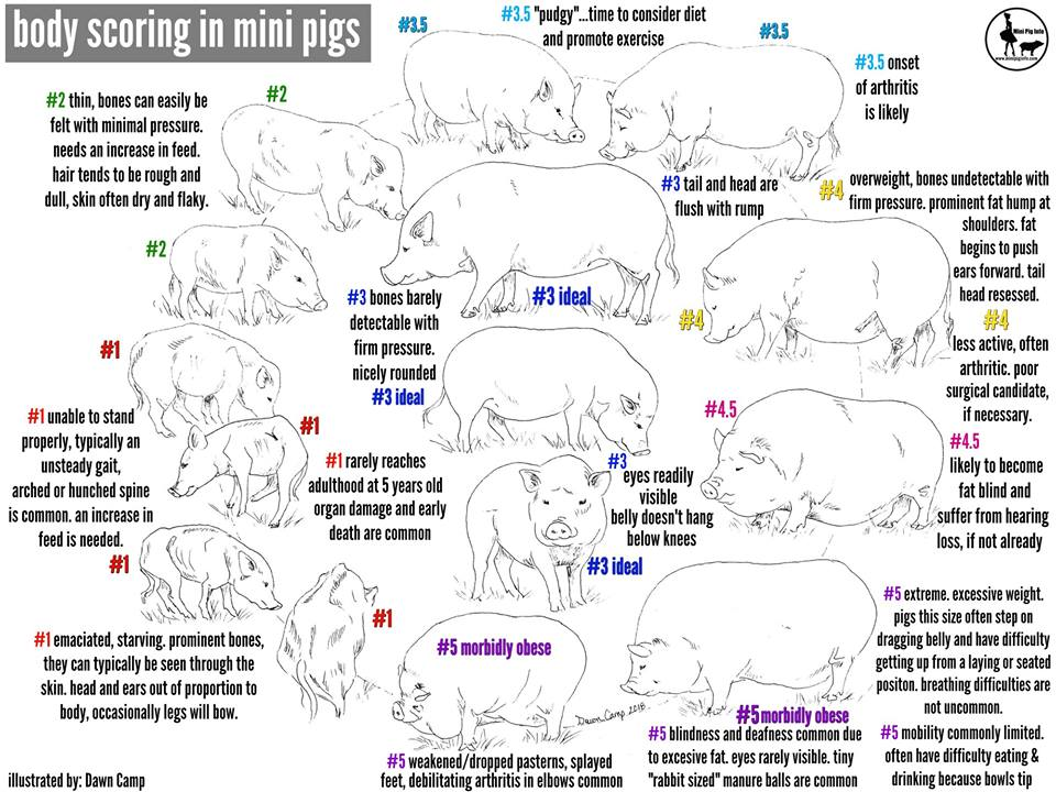 Mini Pig Body Scoring How To Tell If Your Pig Is At A Healthy