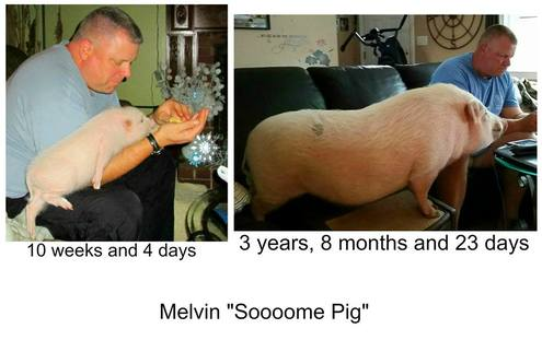 Is There Really A Teacup Or Micro Pig? - Mini Pig Info