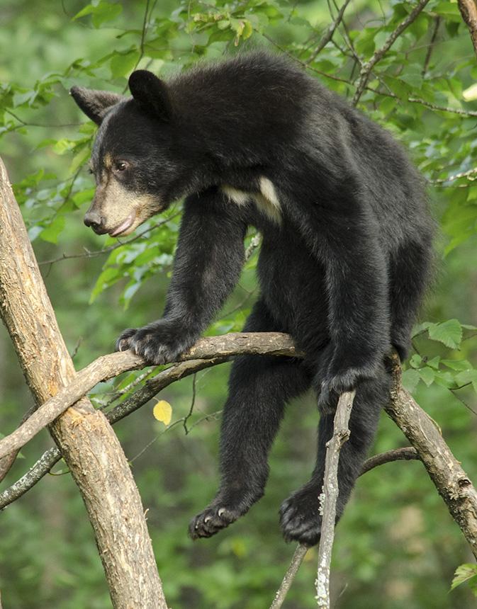 American black bear (Ursus americanus) u2013 Photo by Christa Rittberg - farmer resume