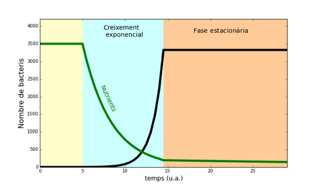 Després d'una fase d'adaptació els bacteris es divideixen constantment (fase exponencial). Quan els nutrients comencen a esgotar-se entren en fase estacionària, on consumeixen menys recursos. / R. Martínez