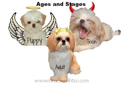 Cute Shih Tzu Puppies Wallpaper Surviving The Shih Tzu Adolescence Stage
